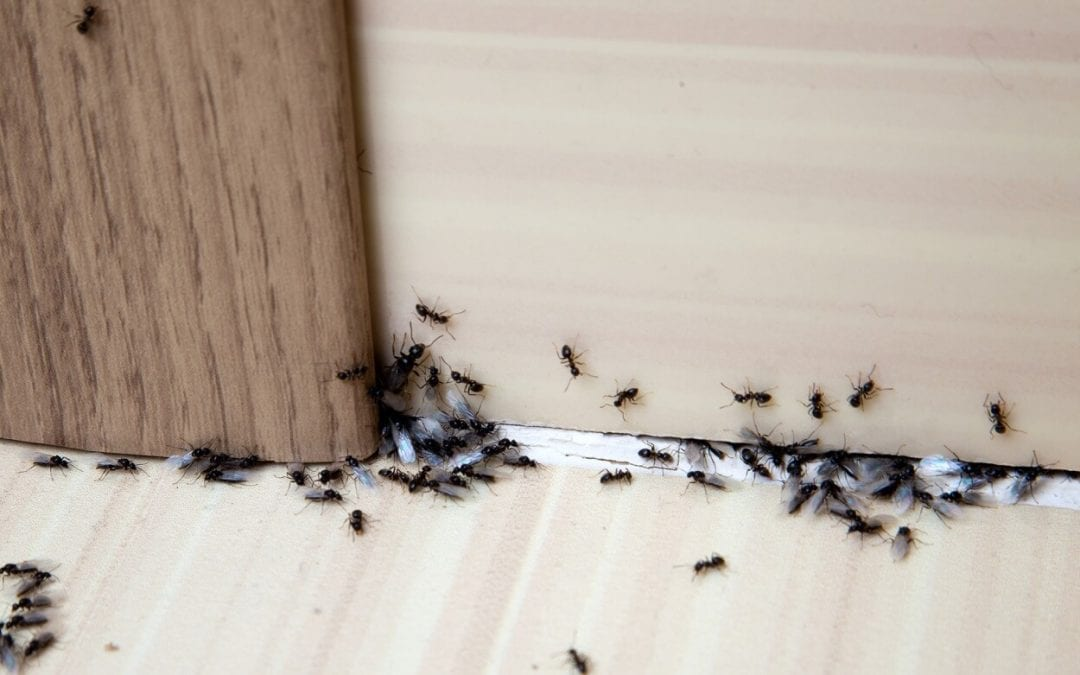ridding your home of ants