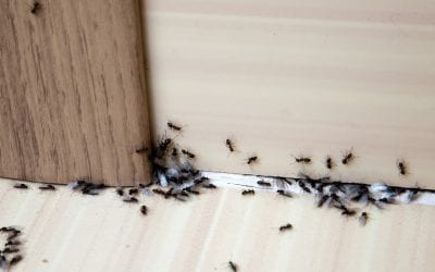 6 Tips to Rid Your House of Ants
